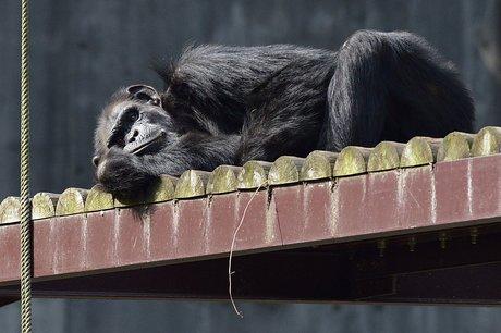 131106chimpanzee1.jpg
