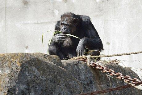 131106chimpanzee2.jpg